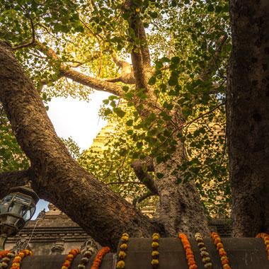 仏陀が悟りを開いた菩提樹