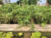 パピルス本物の草